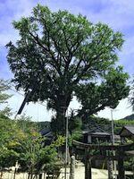 国指定天然記念物「有田のイチョウ」。枝の落下防止のため、昨年実施した枝と枝をロープでつなぐ作業