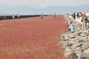 赤紫に色づいたシチメンソウ=佐賀市東与賀町の干潟よか公園一帯