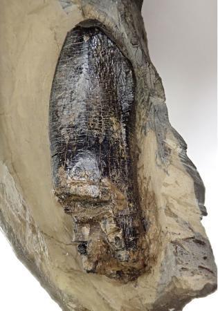 徳島に国内最古級の恐竜地層