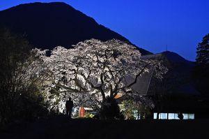 薄暮時、満開となったヒメシダレサクラがライトアップされ妖艶にたたずむ=神埼市の宝珠寺