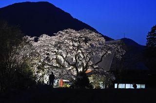 ヒメシダレザクラ 神埼・宝珠寺