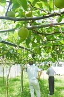 苗木をつなぎ合わせるジョイント栽培を取り入れた農園。成育が早く、省力化も図れるため、注目を集めている=伊万里市南波多町