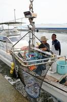 ビゼンクラゲを水揚げする漁業者ら。近年は有明海で大量発生し、魚や貝に代わる貴重な収入源になっている=2016年8月、佐賀県太良町