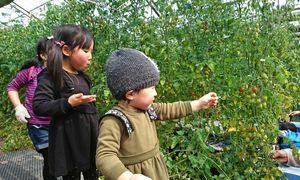赤や黄色に色づいたミニトマトを収穫し、その場で味わう子どもたち=みやき町中津隈の田中園芸