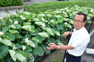 山崎俊雄さんが除草し、自生していたハスが広がったクリーク=佐賀市駅前中央3丁目