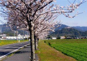 大町橋から日の隈山(右の低い山)へ続く桜並木