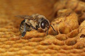 ネオニコチノイド系農薬が生殖能力に悪影響を与えることが分かったミツバチの雄(スイス・ベルン大提供)