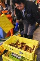 漁獲量が減少しているスルメイカ=2017年6月、北海道・函館漁港