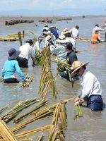 潟に足を取られながら支柱を立てる関係者。奥は1年前に立てた支柱=有明海