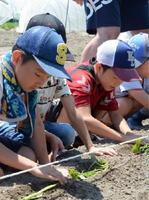 サツマイモの苗を丁寧に植える子どもたち=佐賀市鍋島5丁目の農園