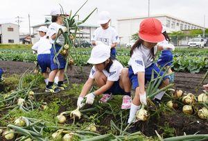 丸々と育ったタマネギを収穫する子どもたち=みやき町の北茂安小横の畑