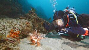 水深20メートルの砂地で「ミノカサゴ」と遭遇。小林アナ(右)が近づいても動かない=1月下旬、波戸岬近くの玄界灘(NHK提供)