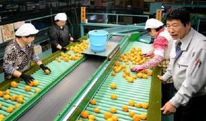 生産農家が持ち込んだハウスミカンを選別する作業員=唐津市の浜玉選果場