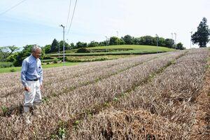 一番茶を摘んだ後に茶の木を刈り取る「中刈り」も目立っている=嬉野市嬉野町