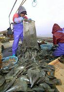タイラギ8季連続休漁 先見えず深まる苦悩