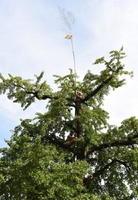 大イチョウの上に掲げられ、風になびく神旗=みやき町の綾部八幡神社