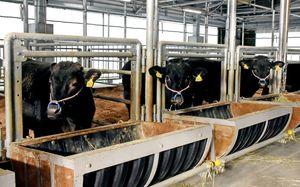 短期肥育で育てられている肉牛=武雄市山内町の佐賀県畜産試験場