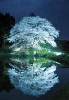 ライトに照らされて闇に浮かぶヤマザクラ=武雄市若木町川内地区(9日夜、ハーフNDフィルター使用)