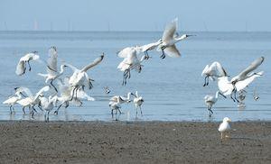 東よか海岸に飛来したクロツラヘラサギ=28日午前8時16分、佐賀市東与賀町
