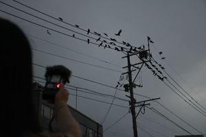 特別な機器でカラスの鳴き声を録音する服部南さん(手前)。佐賀県庁南側の電線には約700羽が集まるときもあるという=佐賀市