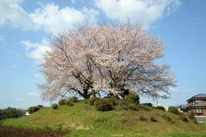 東尾大塚古墳(みやき町) 円形の東尾大塚古墳の上で満開の花を咲かせている桜の木