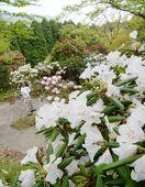 花めぐり 高取山公園のシャクナゲ