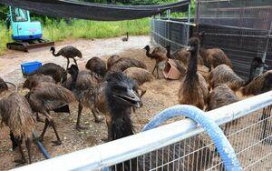 耕作放棄地を活用し、飼育している約40羽のエミュー=唐津市屋形石