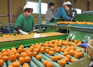 ハウスミカンを選別する作業員たち=唐津市浜玉町のJAからつ柑橘選果場