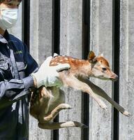 報道陣に公開されたシカの赤ちゃん=10日午前、奈良市の奈良公園