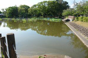 カメの食害の影響か、数が少なくなったハス=佐賀市の佐賀城公園南堀