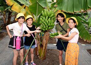 たわわに実ったバナナを収穫する子どもたち=神バナナみやき農場