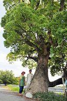 <町ものがたり>焼け残ったクスノキの巨木