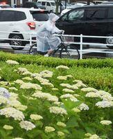 色付く前のアジサイのそばをレインコートを着て走る通行人。佐賀県を含む九州北部地方は統計開始以降2番目に早い梅雨入りとなった=15日正午ごろ、佐賀市内