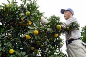 台風18号の接近に備え、極早生ミカンの収穫を急ぐ農家=藤津郡太良町