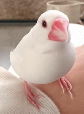 <保護しています>鳥 白文鳥(赤いアイリング・雄)