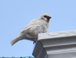 木下さん宅の屋根で巣作りをする白いスズメ=白石町福富下分