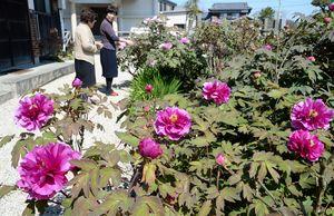 例年より早く咲き始めた妙楽寺のボタン=佐賀市川副町早津江津