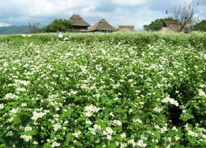 白い花のソバ(10月29日撮影)
