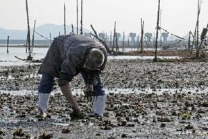 諫早湾内のアサリ漁場で、貝を掘る松永秀則さん。背後には潮受け堤防が見える=長崎県諫早市