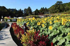 黄色の大輪の花を咲かせたヒマワリを楽しむ来園者=みやき町の山田ひまわり園