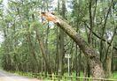 マツ254本伐採結論出ず 虹の松原安全会議
