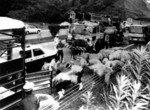 28年前、横転したトラックから逃げ出した豚を必死でつかまえる県畜産公社職員ら。まさかこの14年後に同じことが起きようとは…=平成2年7月14、長崎自動車道
