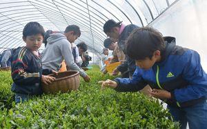 一つ一つ手で摘み取る子どもや茶農家ら=嬉野市嬉野町