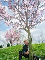樹皮が枯れた桜を手入れする鈴木榮さん。植えっぱなしにせず、毎年訪れる=北部のツズラ