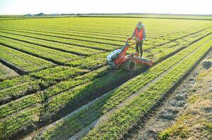 10センチほどに育ち、畑を爽やかな緑色に染める麦を踏む男性=9日午後4時半ごろ、佐賀市大和町