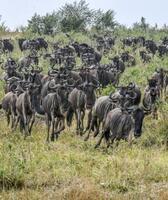 ケニアのマサイマラ国立保護区を走るヌーの群れ=2020年8月(中野智明氏撮影・共同)