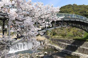 城原川沿いに咲き誇り、桜に彩られた木造橋「愛逢橋」=神埼市の仁比山公園