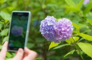 雨や花の重みなどで、日々形が変化するため見つけるのが難しいハートのアジサイ