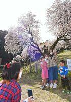 昨年9月の台風で中央部分の幹が折れ、V字に枝が広がる「納戸料(なんどりょう)の百年桜」。被害は受けたものの、今年も変わらず満開になり、花見客の笑顔が広がる=26日、嬉野市嬉野町吉田(撮影・鶴澤弘樹)