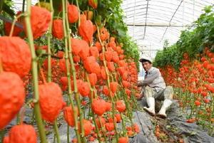 鮮やかに色づき、収穫期を迎えたホオズキ=唐津市半田